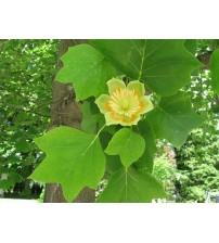 Тюльпанове дерево / Ліріодендрон тюльпановий