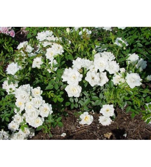 Троянда поліантова Вайт Фейрі White Fairy