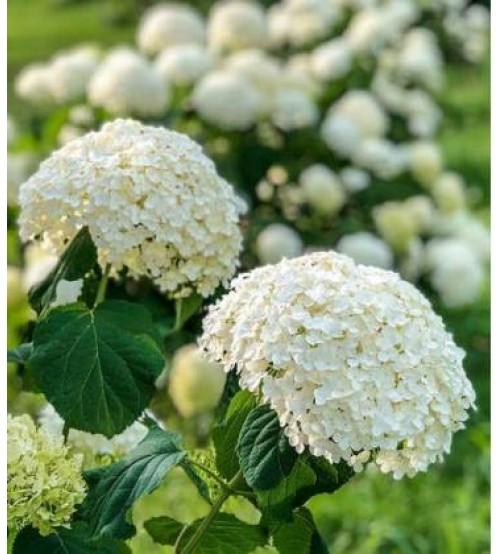 Гортензія деревовидна Аннабель (біла)