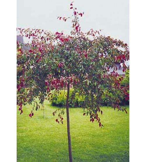 Яблуня декоративна плакуча