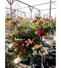 Троянда штамбова