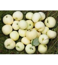 Яблуня Білий налив
