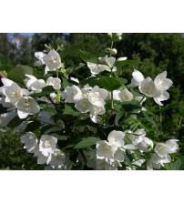 Жасмин білий махровий